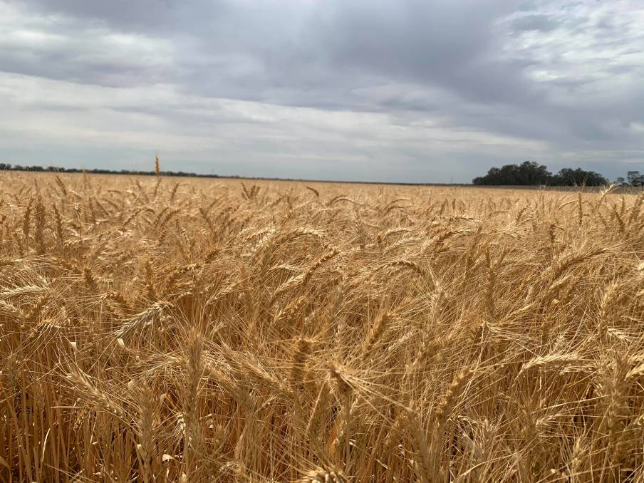 SETBACK: Farmers in the northern part of the region will be hoping to harvest their crops before more predicted rain arrives later this week. Photo: Dimity Smith