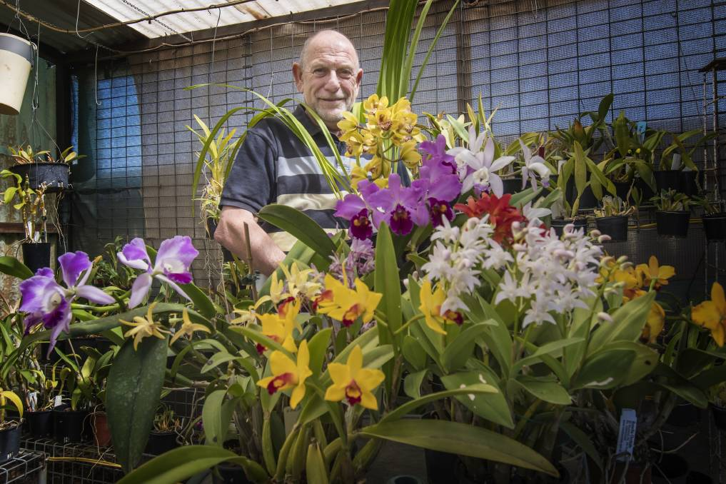 IN BLOOM: Jack van Hest and other orchid growers have battled through tough conditions this winter. Photo: Peter Hardin 170918PHC006